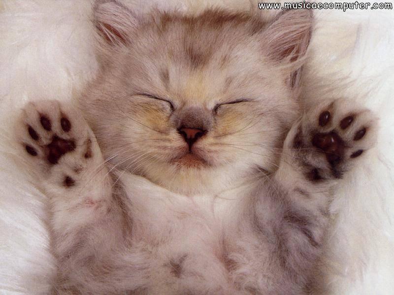 Sfondi dei gatti for Sfondi gatti gratis