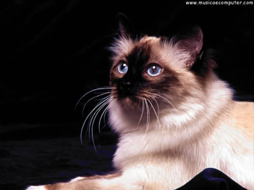 Sfondi per il desktop animali gatti foto 41 108 foto for Sfondi desktop gatti