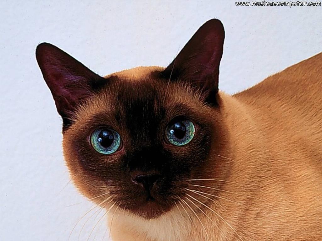 desktop wallpapers animals cats   pic 56 108 photos