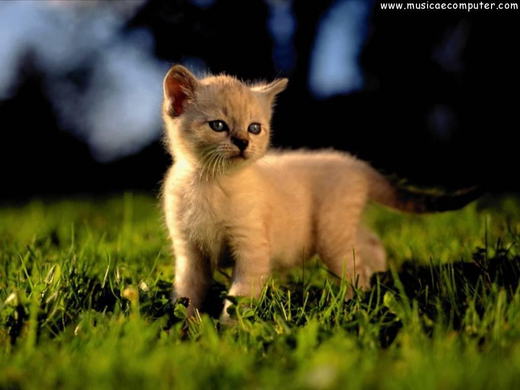 Sfondi per il desktop animali gatti foto 87 108 foto for Sfondi desktop gatti