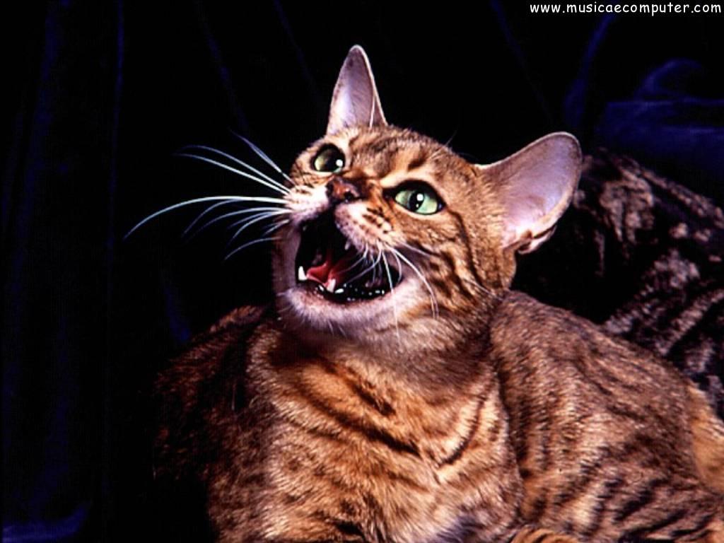 desktop wallpapers animals cats   pic 88 108 photos