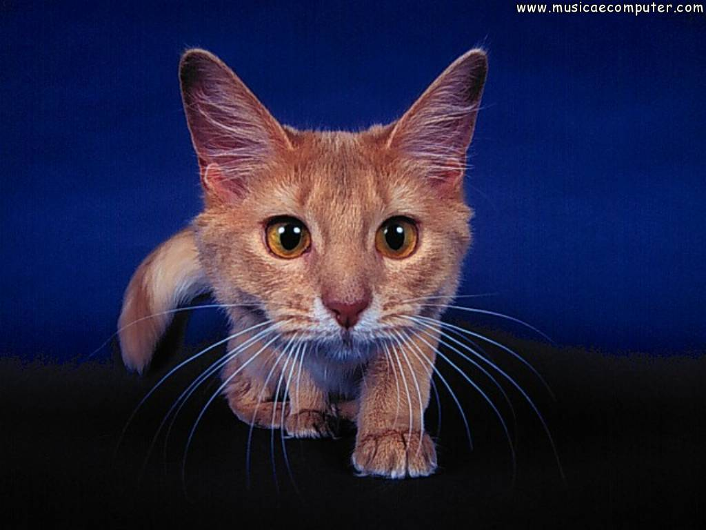 Sfondi per il desktop animali gatti foto 98 108 foto for Sfondi desktop gatti