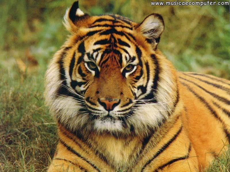 Sfondi per il desktop animali tigri foto 4 16 foto for Foto desktop animali